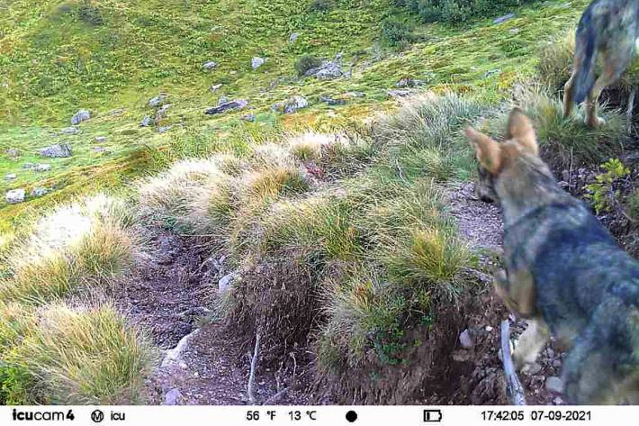 Ein neues Wolfsrudel wurde im Kanton Glarus fotografiert.
