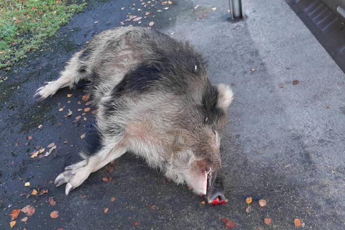 Wildschwein auf der A1 bei Lohne