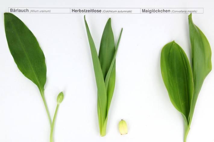 Ein Foto von Bärlauch, Herbstzeitlose und Maiglöckchen