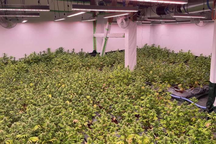 In Wädenswil wurden über 1'000 Pflanzen sichergestellt