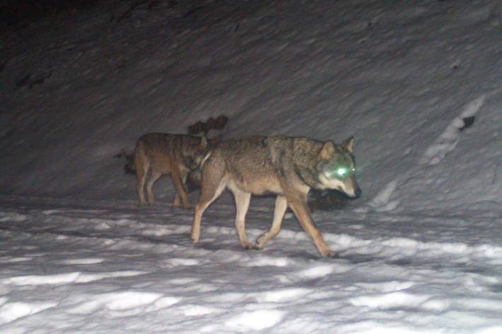Anfang Jahr wurden in Filzbach zwei Wölfe festgestellt (Fotofalle), vermutlich die Elterntiere der jetzt von einem Jäger beobachteten Jungwölfe