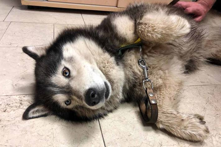 Der Husky ist wohlauf und wurde dem Besitzer in Wien übergeben