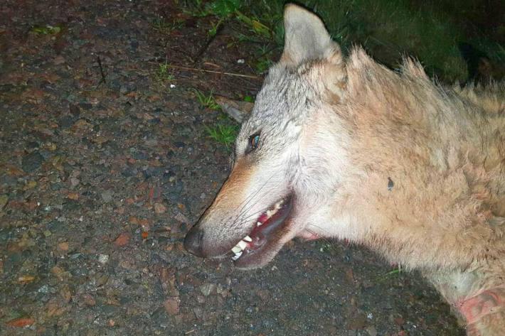 Der Wolf wurde überfahren.