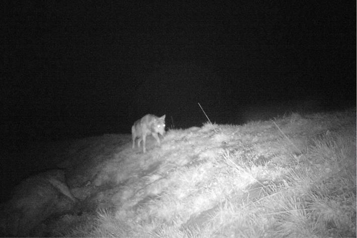 Wolf reisst Hirschkuh im Jagdbanngebiet am Säntis