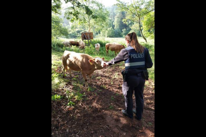 Polizistin beim Einfangen der Kühe