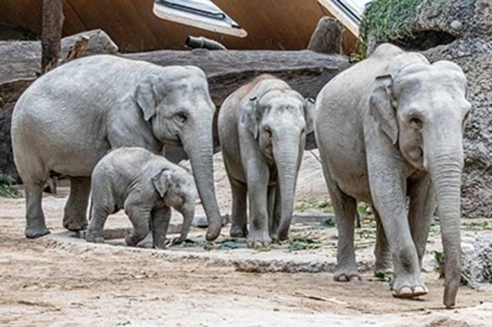 Zürich – Analyse zu Elefantengeburt abgeschlossen