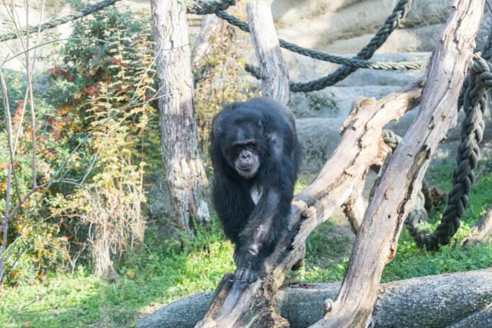 Schimpanse Tatu ist gestorben.