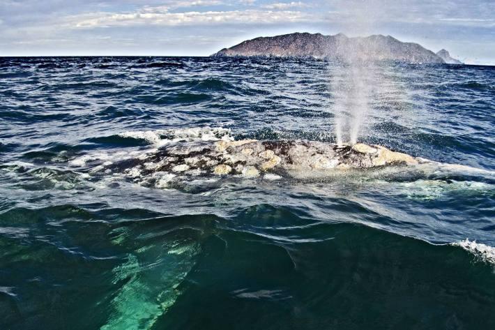 Grauwal im Meer von Cortez, Mexiko