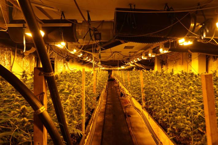 8'700 Pflanzen und über 300 Kilogramm Marihuana sichergestellt