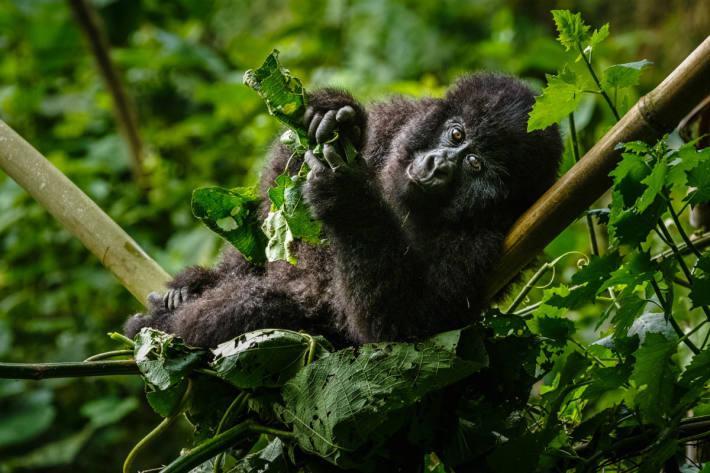 Berggorilla im Nationalpark Virunga, Kongo