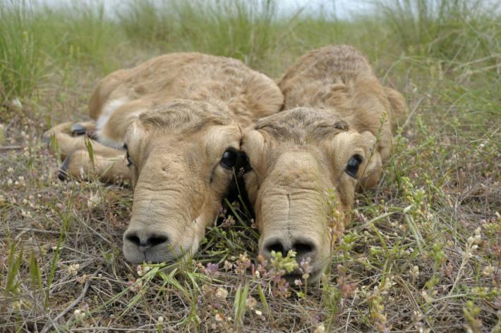 Zwei neugeborene Saiga-Antilopen