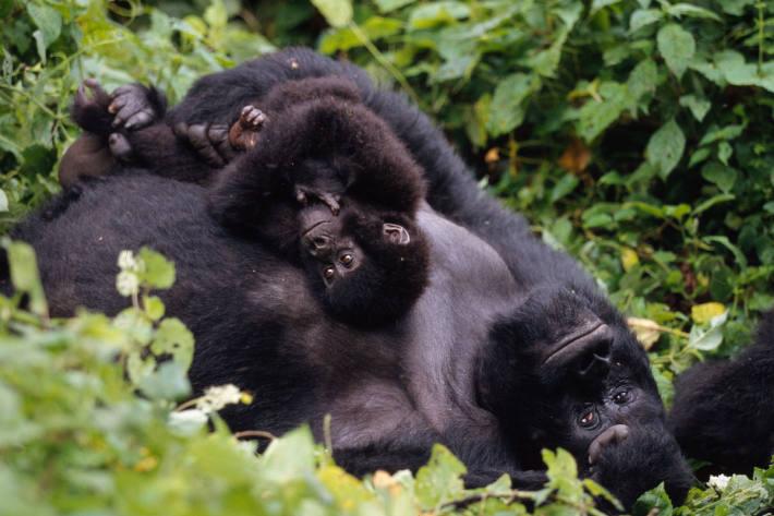 Berggorilla mit seinem Jungen.