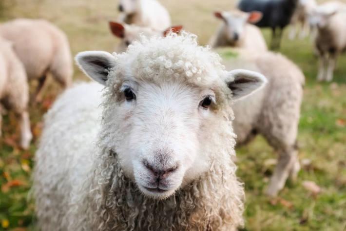 Motorradfahrer kollidierte in Sölden mit Schaf und kam zu Sturz (Symbolbild)