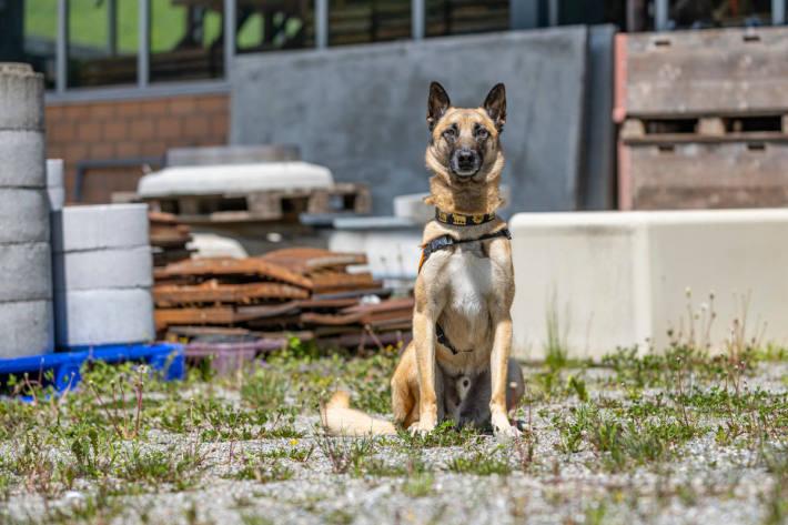 Polizeihund Jango von Grafenfels