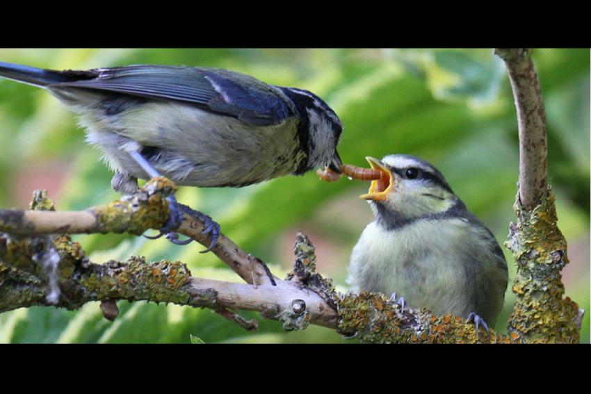 Blaumeisen-Jungvogel frisst Käferlarve.