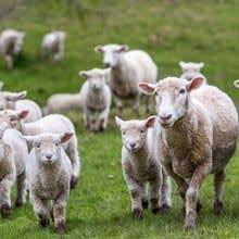 Breeding Sheep Sales Reports
