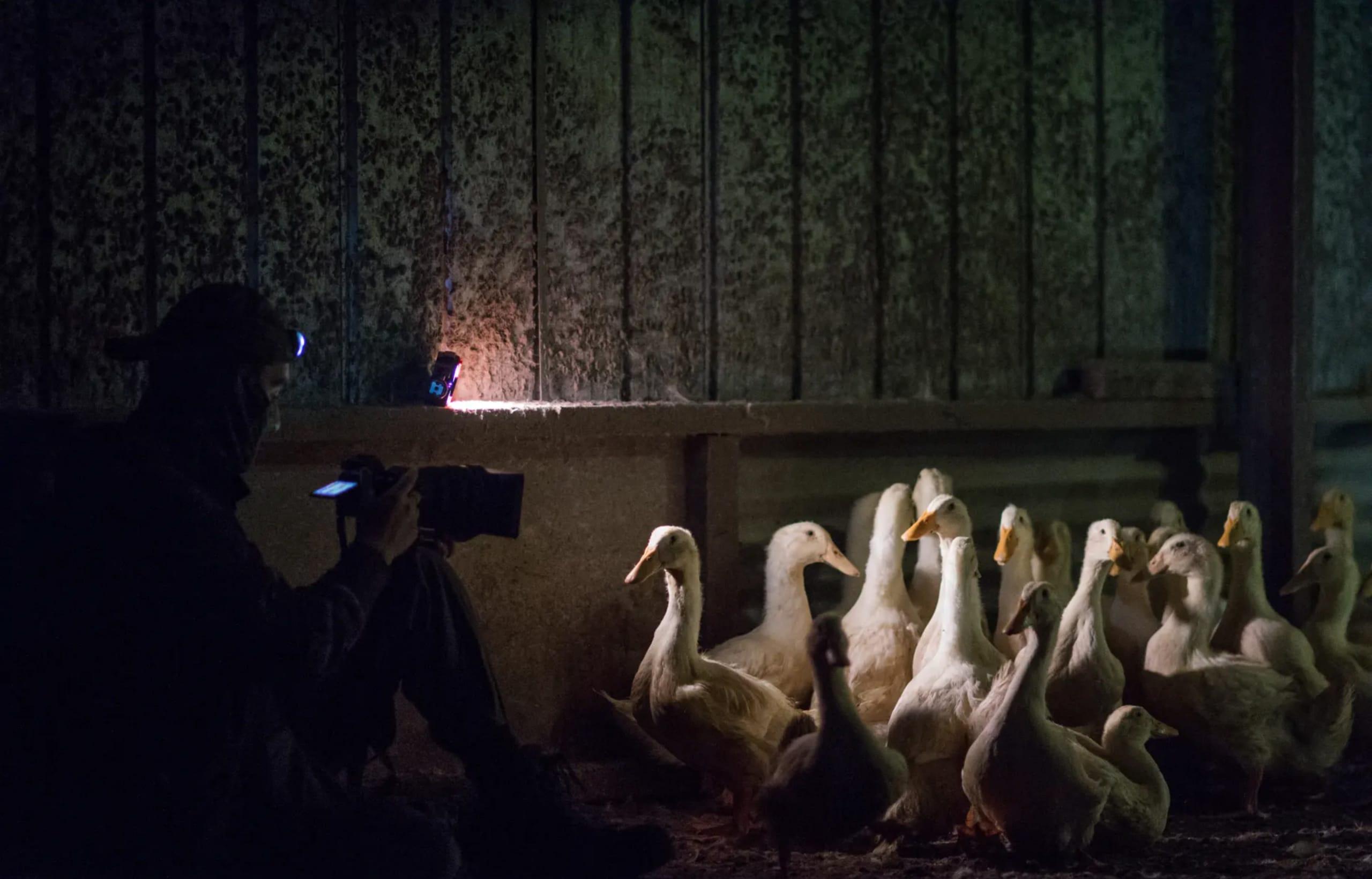 A duck farm in Australia 2017