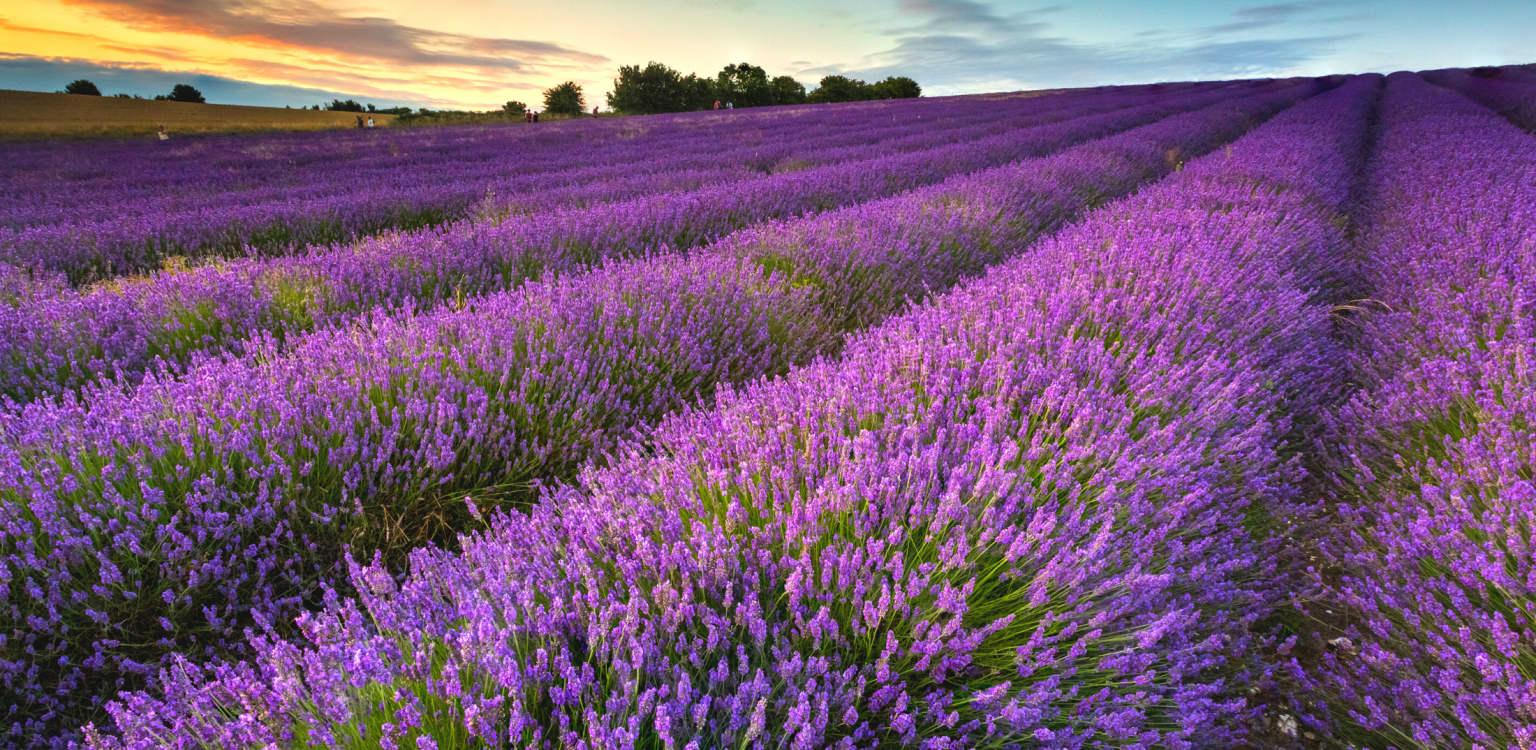5. Hitchin Lavender, Hertfordshire