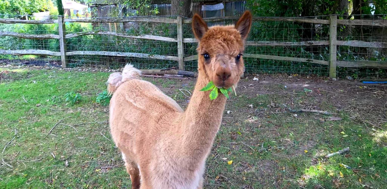 Dunreyth Alpacas, East Sussex