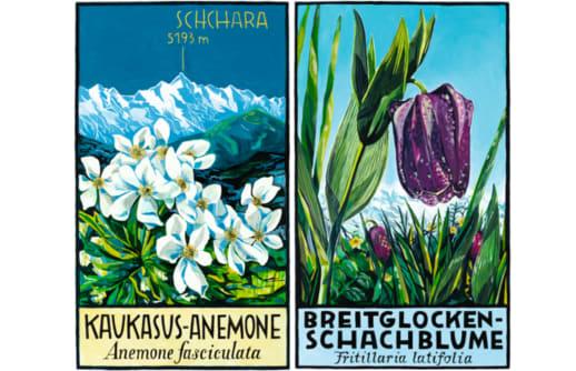 Kaukasus-Anemone & Breitglocken-Schachblume