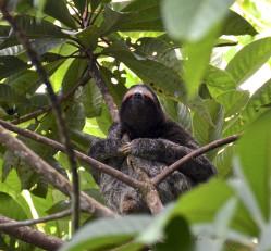 Sloth panama