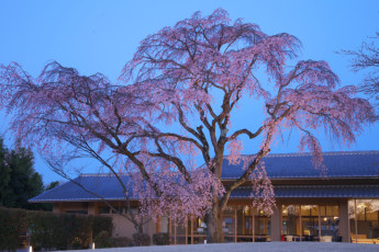 Kyoto - Utano YH : Kyoto - Utano YH Exterior pink tree