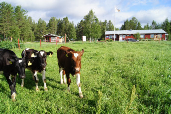 Raudanjoki - Hostel Visatupa : Three cows outside the Hostel Visatupa