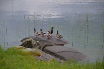 Rimforsa/Kalvudden : Rimforsa Kalvudden ducks