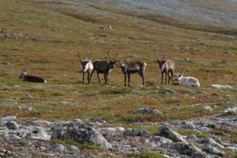 Grövelsjön Mountain Station : Dalarna - Grovelsjon Mountain Lodge Hostel in Sweden wildlife reindeer