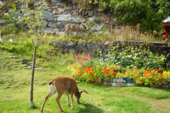 HI - Prince Rupert : Deer in garden in the HI - Prince Rupert Hostel in Canada
