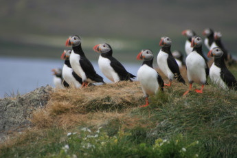 Broddanes : Puffins in Area Surrounding Broddanes Hostel, Iceland and Surrounding Landscape