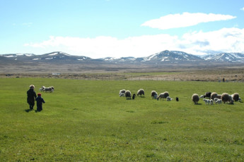 Ytra Lón : Sheep in the Landscape Surrounding Ytra Lon Hostel, Iceland