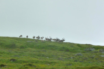 Abisko Mountain Station : Reindeer near the Lappland - Abisko Tourist Station hostel in Sweden