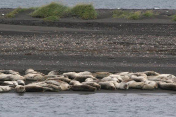 Ósar : focas en la playa local de osar Hostel, Islandia
