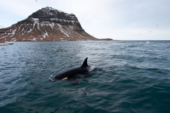 Grundarfjörður : ballenas nadando en el mar a local Grundarfjorour Hostel, Islandia