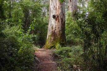 Pemberton YHA : Tree near the Pemberton hostel in Australia