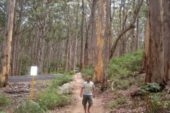 Augusta YHA : Guest Walking through the Boranup Forest near Augusta Hostel, Australia