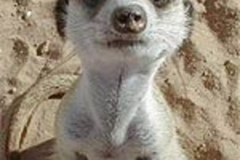 Oudtshoorn - Backpacker's Paradise : Meerkat at Oudtshoorn - Backpacker's Paradise Hostel, South Africa