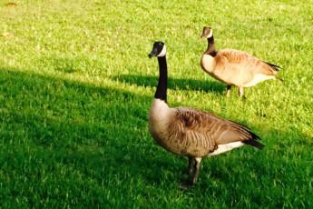 HI Little Rock Firehouse Hostel & Museum : The famous MacArthur Park Geese