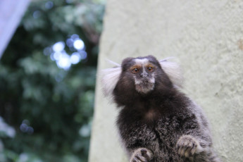 Rio De Janeiro - Cabanacopa Hostel : Monkey