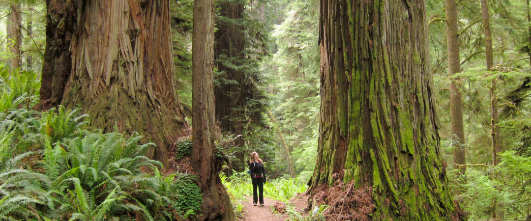 Hike in redwood forest full of mystic giant trees which have been dominating the Northern California coast for over 1,200 years.