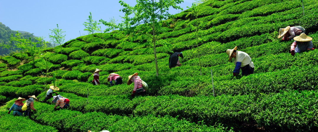 As well as enjoying beautiful scenery, learn about the farming and development process of tea at a tea farm in Nantou.