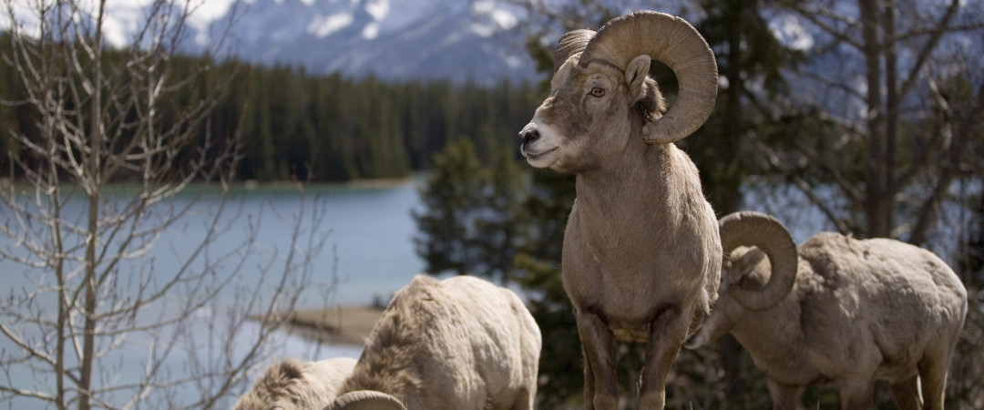 Escape into the wilderness and get up close to wildlife in Banff National Park.