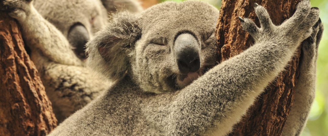 Get close to one of Australia's cutest animals - cuddle a Koala bear at the Lone Pine Koala Sanctuary.