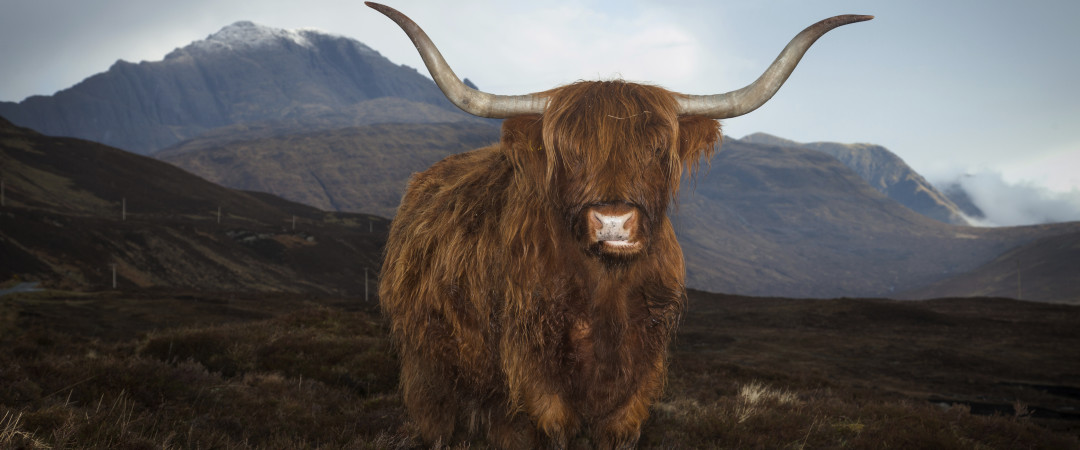 Meet the locals - Highland Cattle, known for their shaggy red hair and long horns, can often be seen grazing the land in Scotland.