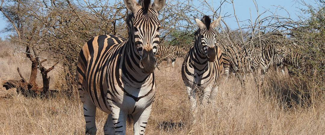 Visit South Africa's famed Kruger National Park, where you'll come across giraffe's, elephants and a host of other beautiful animals!