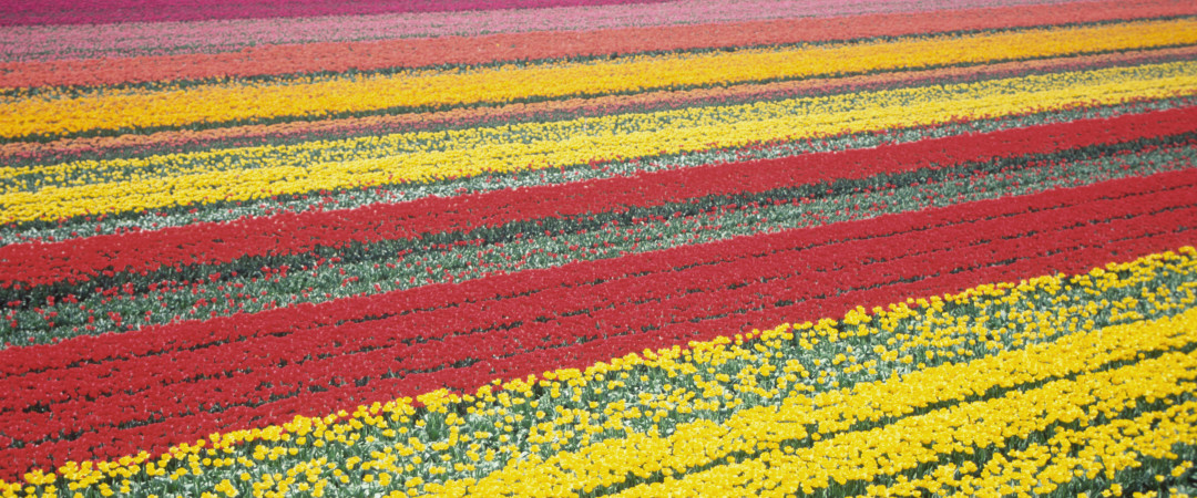 From March until May, the Netherlands' tulip fields provide striking streaks of colour across the landscape.