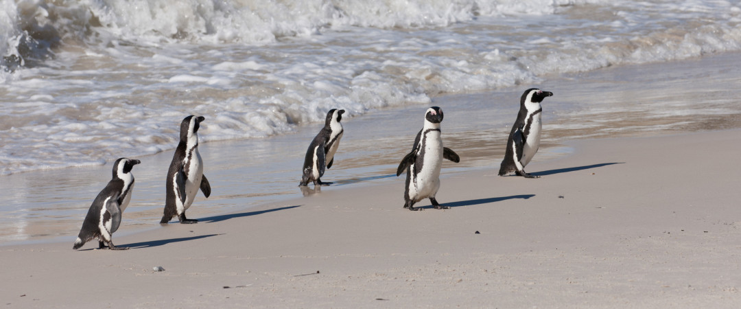 Is there any animal as cute as a penguin? These fellows are at nearby Boulder's Beach, just a hop away from our hostel.