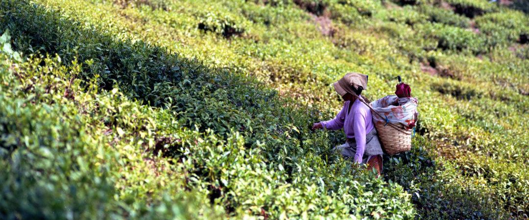 Durante su estancia en Darjeeling, diríjase a una plantación de té para descubrir el proceso de cosechar té hojas.