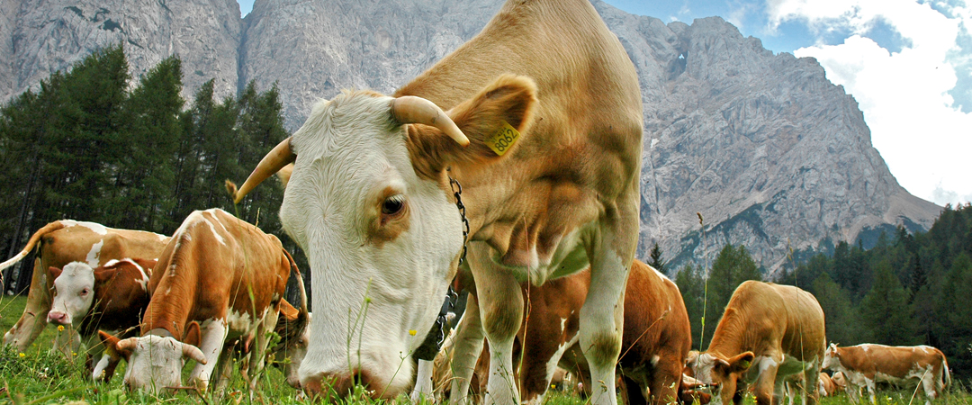 Spot the cows and see them grazing in the surrounding area of the Julian Alps – a real natural remedy for a burdened soul.